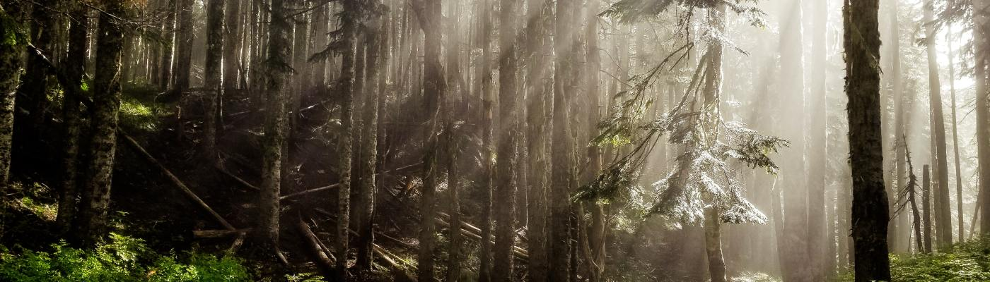 Light streaming through branches in forest